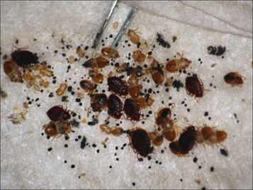 bed bug colony