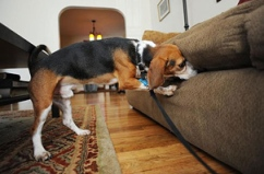 dog searching for bedbugs