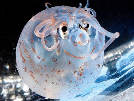 sea critters-banded piglet squid photo by seathos