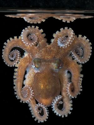 lizard island octopus photo Julian Finn / Museum Victoria