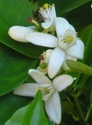 orange blossom bee